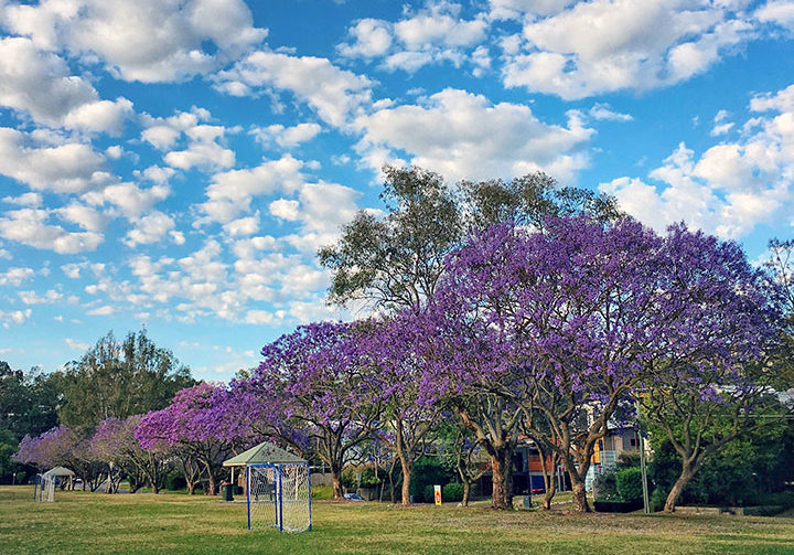 Jacaranda Season Might Come Earlier in Saint Lucia's University of Queensland