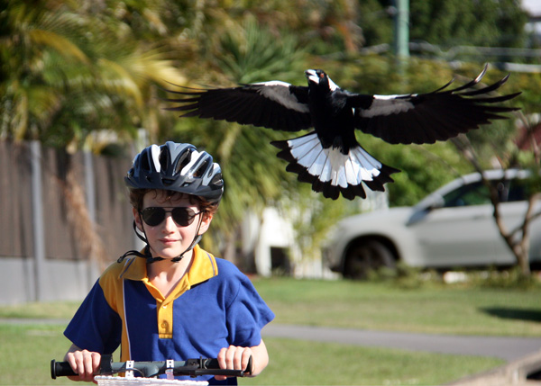 Magpie Madness in Saint Lucia Has Begun